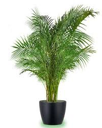 areca palm, air quality in your home