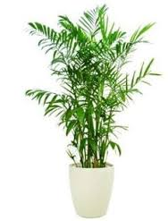 bamboo palm, air quality in your home
