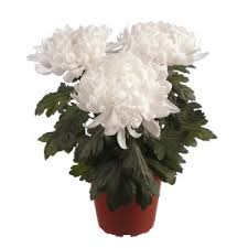 chrysanthemum, air quality in your home