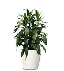 dracaena janet craig, air quality in your home