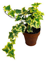 english ivy, air quality in your home