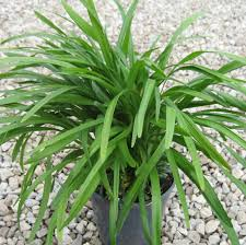 lilyturf, air quality in your home