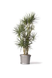 red-edge dracaena, air quality in your home