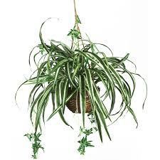 spider plant, air quality in your home