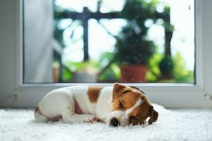 Anchor Carpet Cleaners Puppy on Carpet